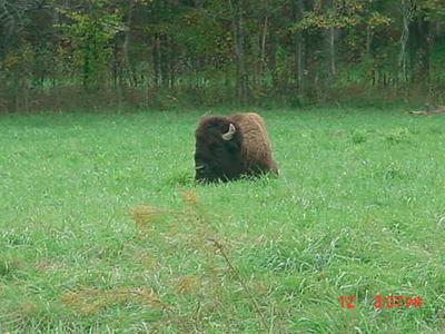 ElkBison Bison1